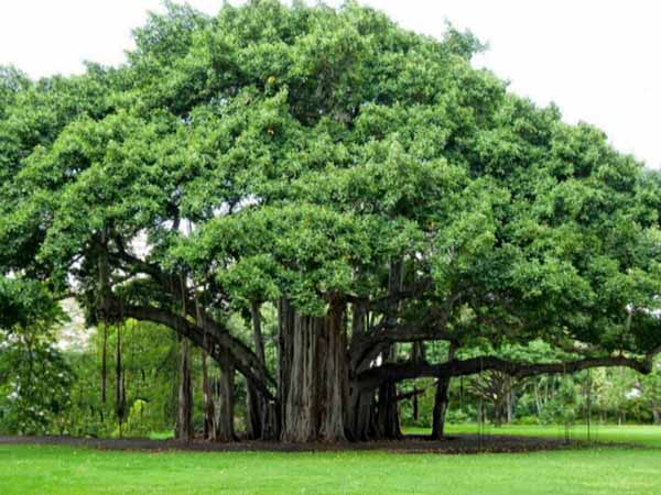 Mơ thấy cây cổ thụ có điềm báo gì? đánh con số nào?