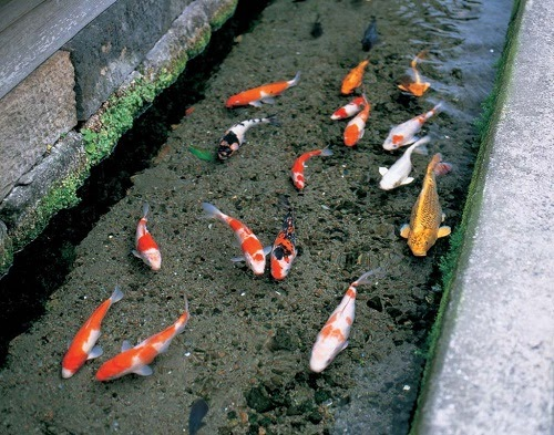 giấc mơ giúp bạn phát tài: mơ thấy cá bơi