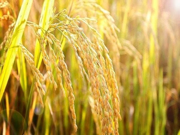 Mơ thấy lúa có điềm báo gì? đánh con số nào?